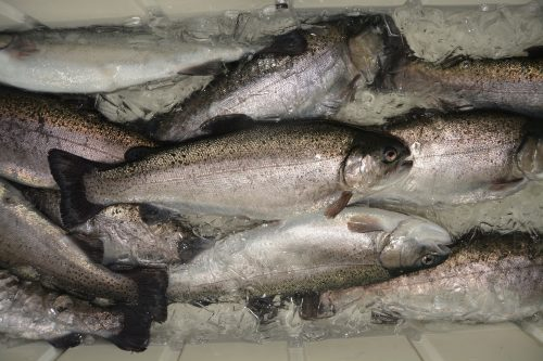 Close up of several silver fish inside cooler on ice
